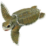 267429-kemps-sea-turtle-baby-t